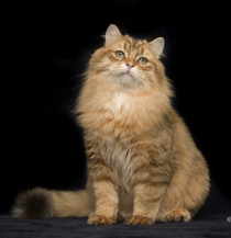 Siberian male cat