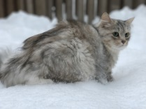 Siberian female cat