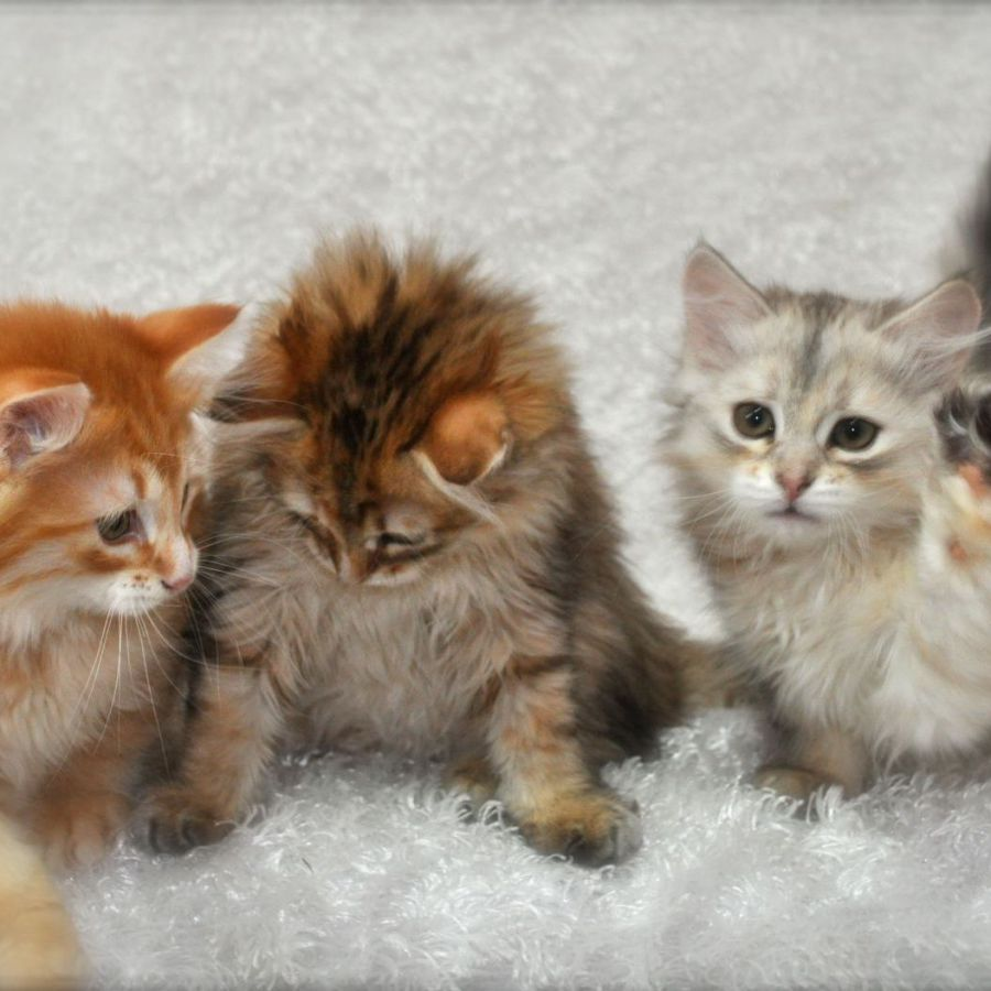 Hypo-Allergenic Siberian Cats and Kittens for Sale - Forest